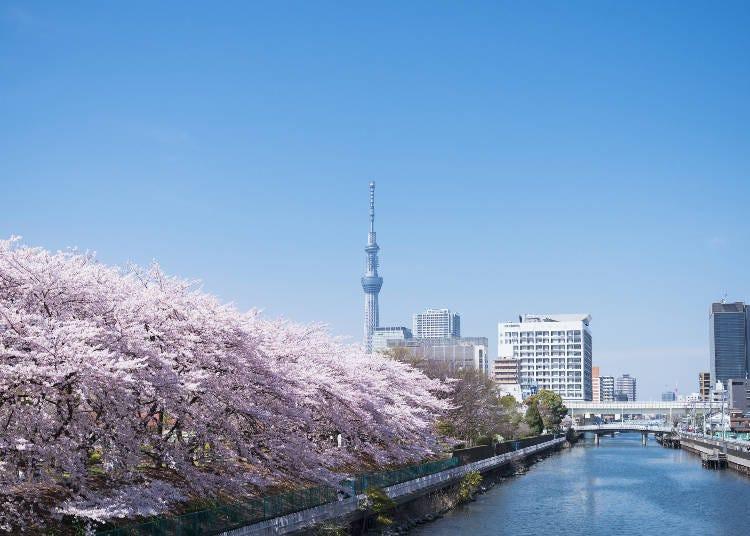在东京下町的公园观赏樱花与东京晴空塔的合影