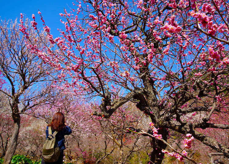 Plum Blossoms in Japan: 9 Best Spots In And Around Tokyo (And When To See Them) - LIVE JAPAN
