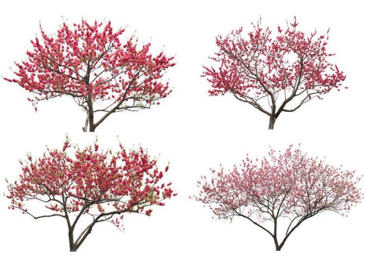 Plum Trees in Japan