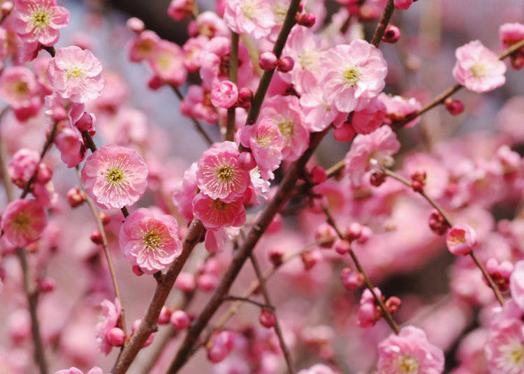What do Japanese plum blossoms look like?