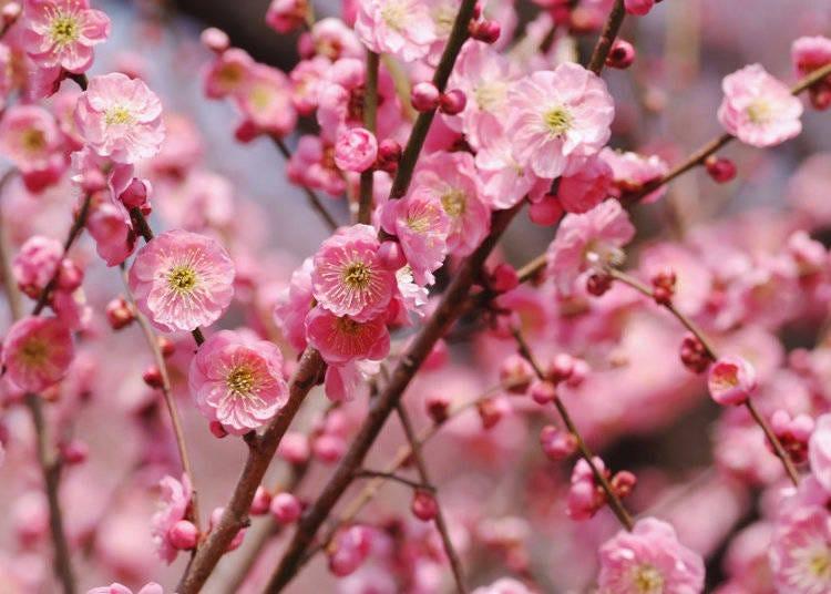 梅の花ってどんな見た目?