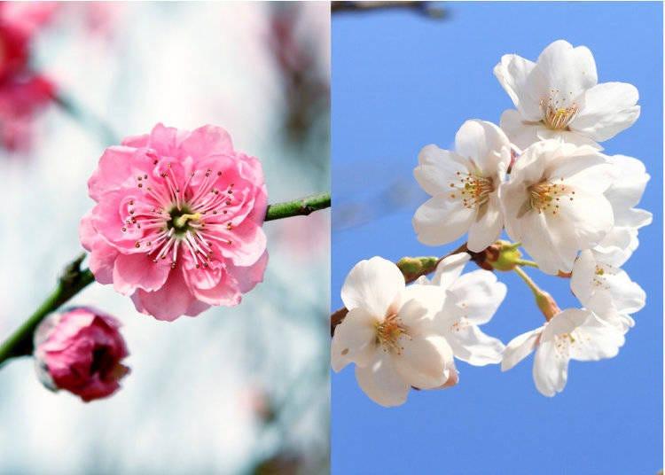 梅花 vs. 桜 ー その違いと違いの魅力