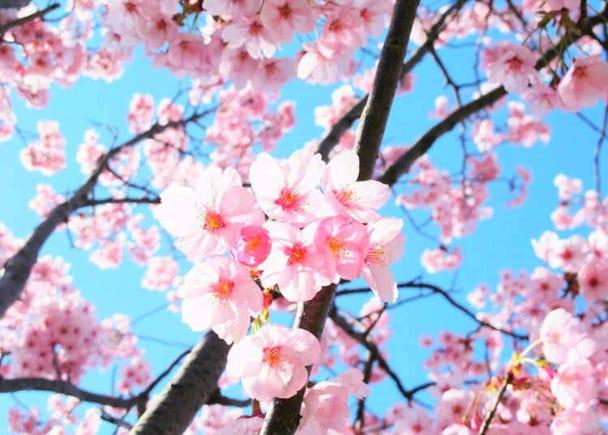 Blooming Ambassadors - The Heartwarming History Behind 'Sunlight' Sakura