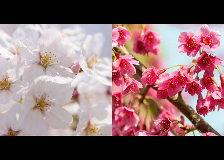 A Resilient Crossbreed: Creating a New Cherry Tree