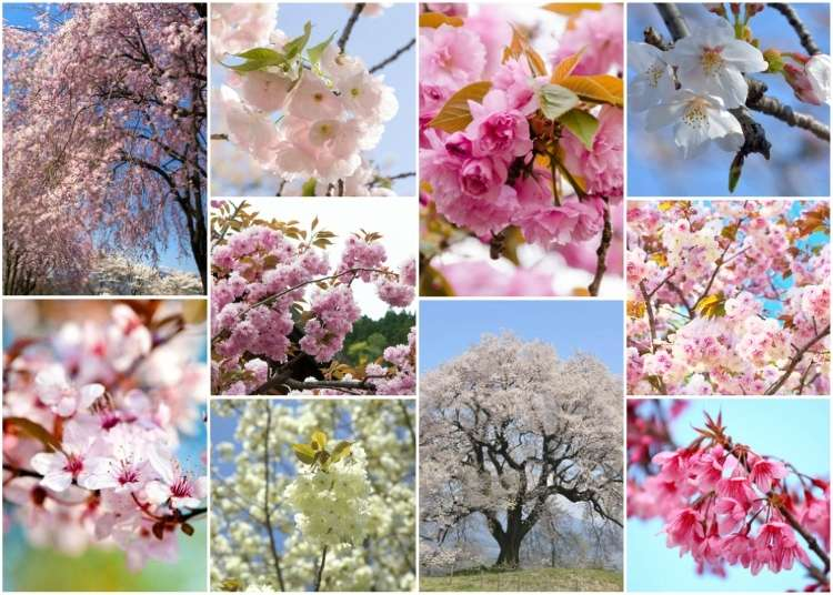 Sakura Flowers: 10 Japanese Cherry Blossom Varieties You'll Fall in Love With!