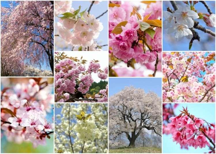 벚꽃시즌중 볼 수 있는 일본의 대표적인 벚꽃은 어떤게 있을까?
