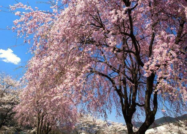 3. Shidarezakura (Japanese weeping cherry tree)