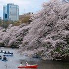 Tokyo Cherry Blossom Sakura tour