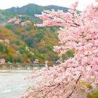 Kyoto Cherry Blossom Tour from Osaka