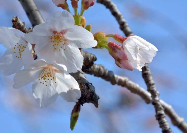 日本櫻花種類①染井吉野櫻