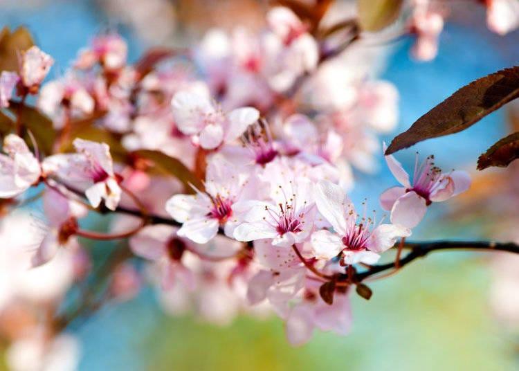 日本櫻花種類②山櫻