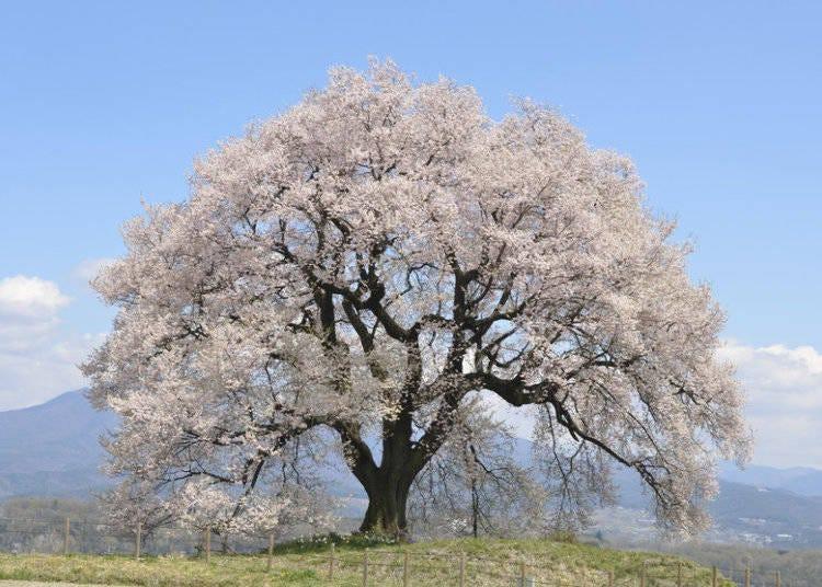 日本櫻花種類④江戶彼岸