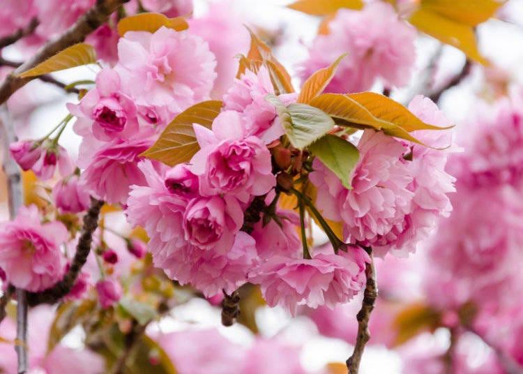 日本櫻花種類⑤關山櫻