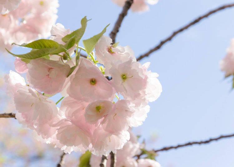 日本櫻花種類⑥一葉櫻