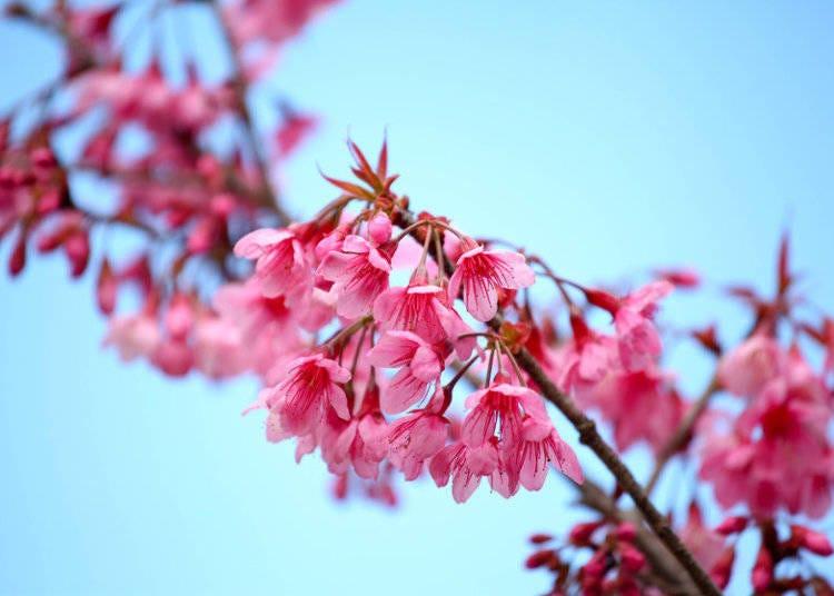 日本櫻花種類⑦寒緋櫻