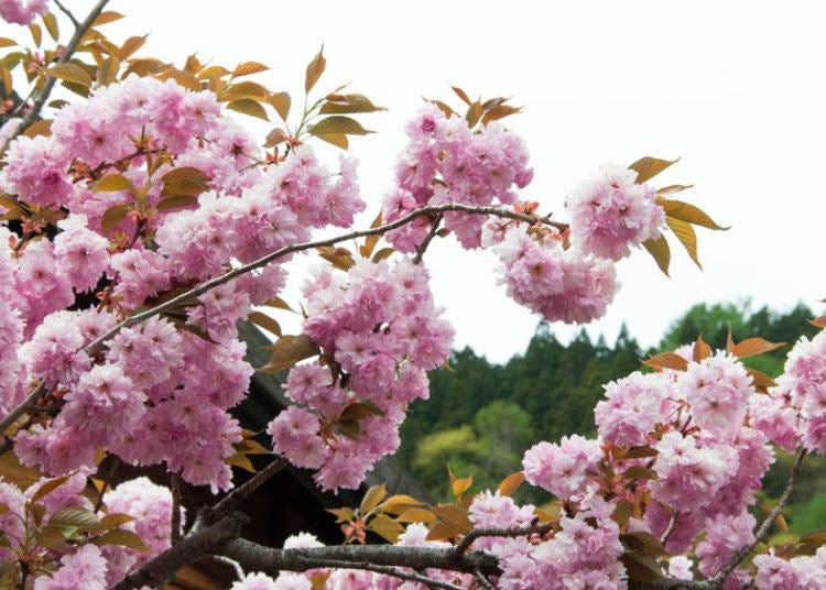 日本櫻花種類⑧菊樱