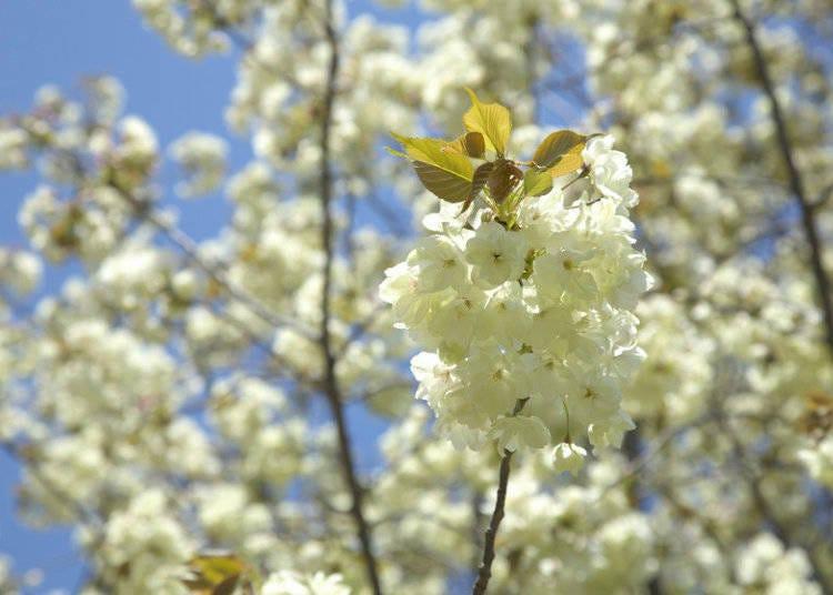 日本櫻花種類⑨郁金櫻
