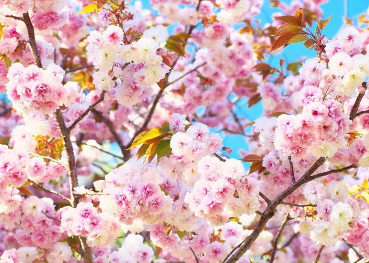 日本櫻花種類⑩普賢象櫻