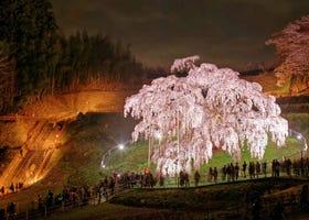 Celebrated for Centuries: The 5 Great Japanese Sakura Trees