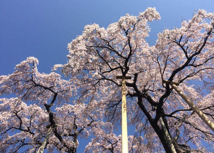 1. Miharu Takizakura (Miharu, Fukushima)