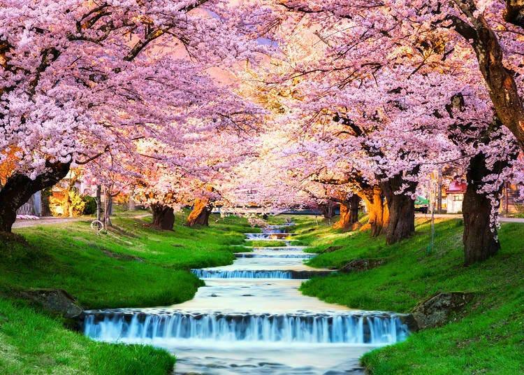 日本北部は遅咲き