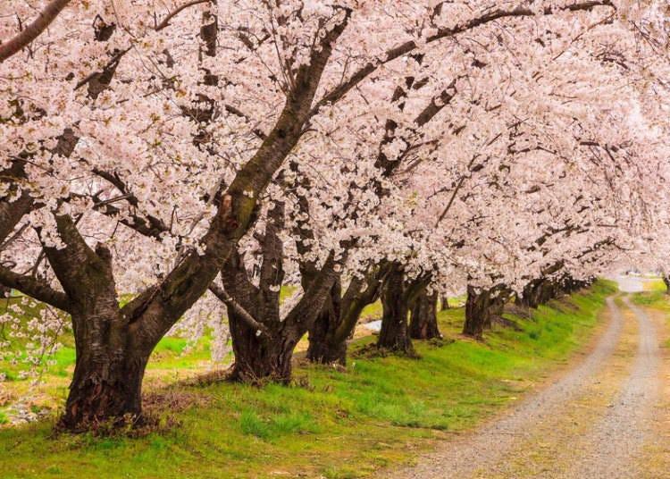 일본 북부지역은 기온의 영향으로 개화가 늦다!