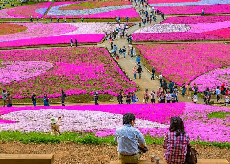 將山野染成一片粉色地毯的「芝櫻」