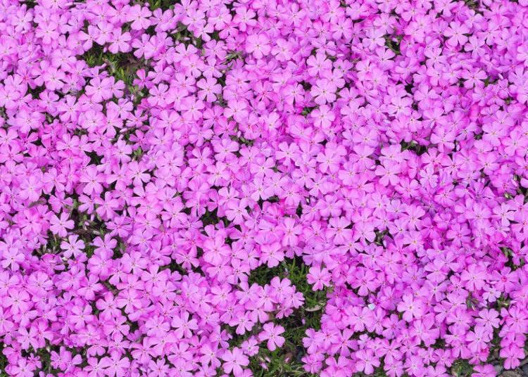 잔디벚꽃(시바자쿠라)의 개요와 시기