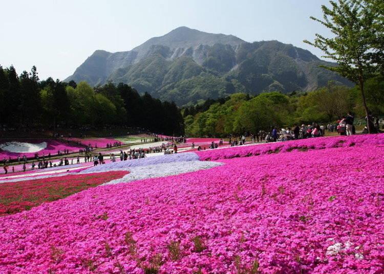 히쓰지야마 공원 : 사이타마는 잔디벚꽃(시바자쿠라)의 원더랜드!