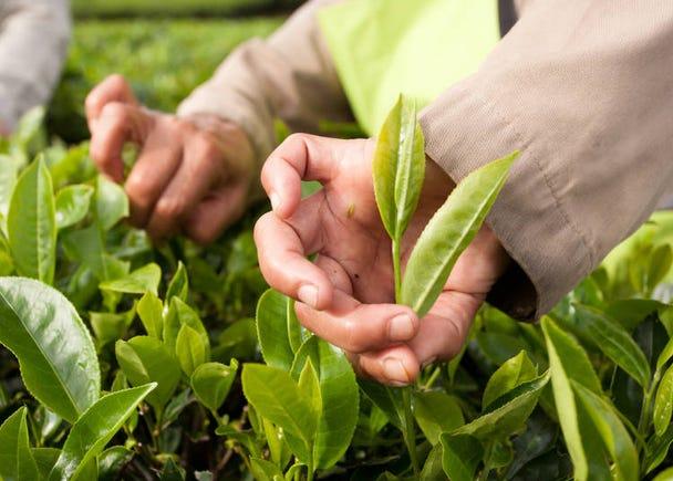 Harvesting the Tea Leaves