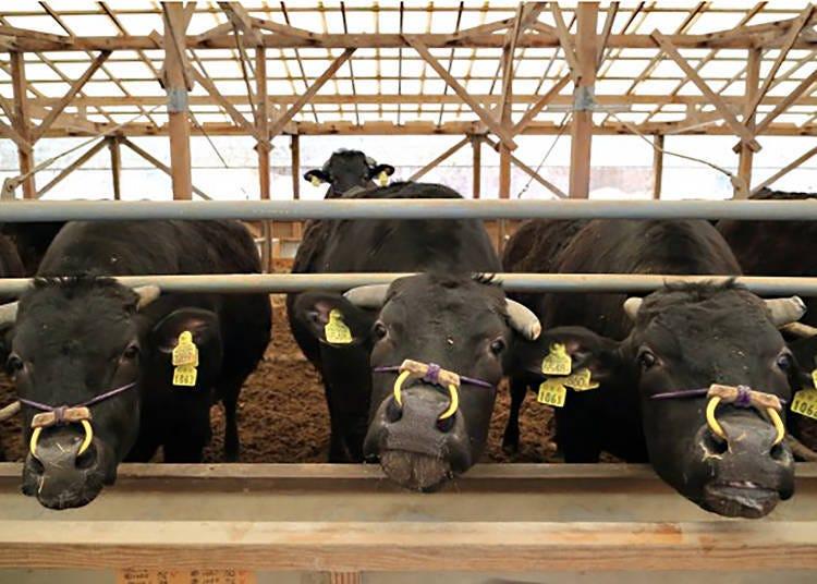Tajima Cattle: Root of all Wagyu