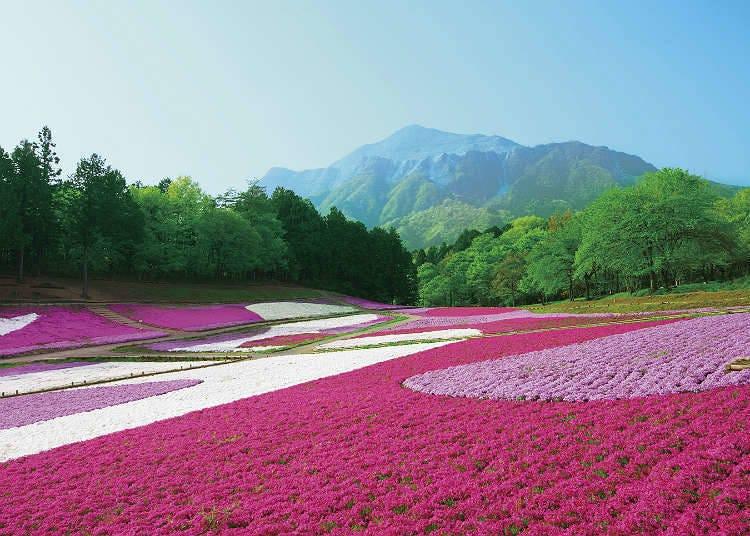 """ตะลึงกับความงามของ """"ชิบะซากุระ"""" ที่จิจิบุ"""