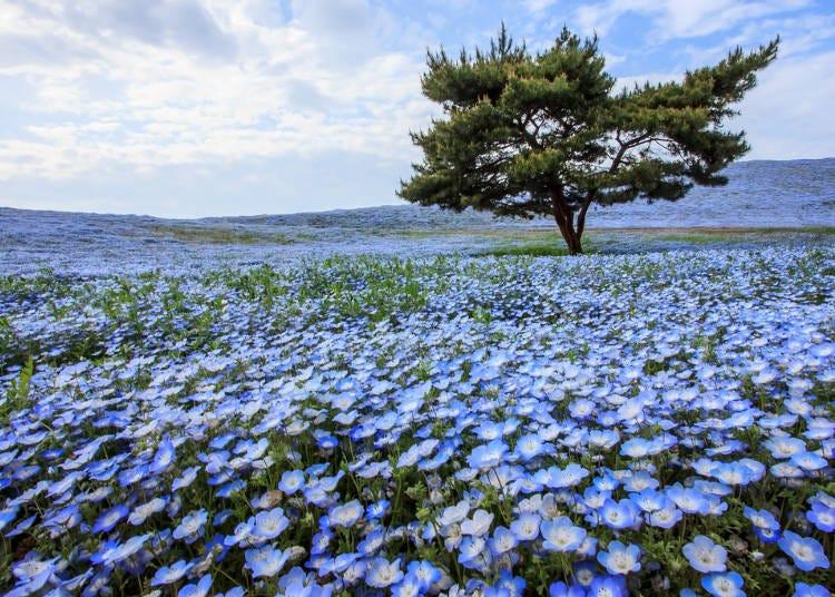 周遊券範圍景點介紹:茨城-偕樂園、茨城國營常陸海濱公園