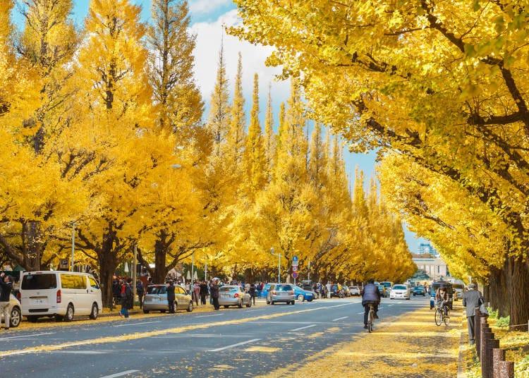 東京紅葉景點②以金黃銀杏為看點的紅葉景點