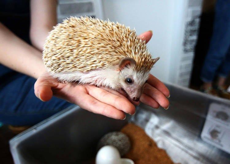 Hedgehog Café Do's and Don'ts