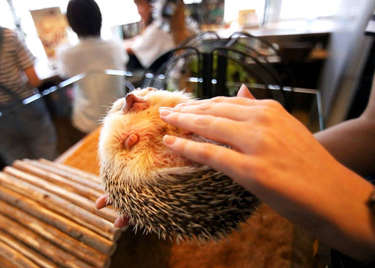 Head to Hedgehog Café Harry!