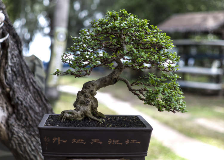 Culture Of Japanese Bonsai The Beauty And Mystique Of Miniature Trees Live Japan Travel Guide