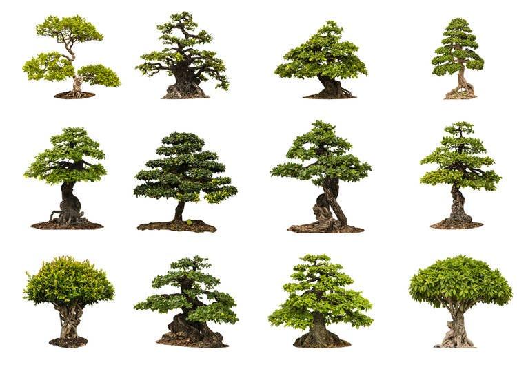 What is a bonsai: When is a Bonsai Tree, a Bonsai Tree?