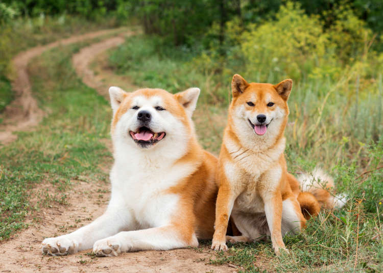 6 Authentic Japanese Dog Breeds: Cuteness from Shiba-Inu to Akita-Inu!