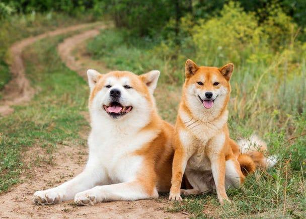 6 Authentic Japanese Dog Breeds: Cuteness from Shiba Inu to Akita Inu!