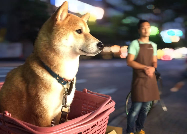 Getting a Japanese dog