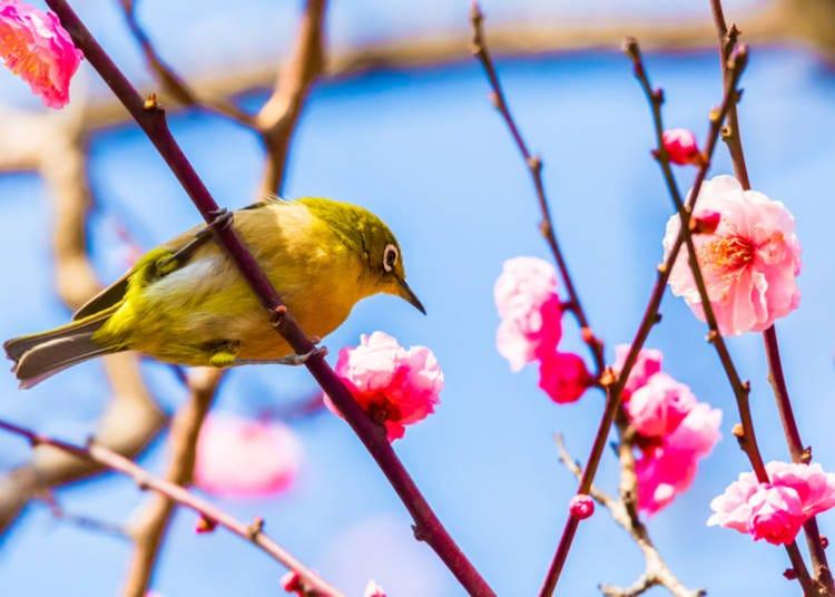 What flowers bloom in Spring 2020 in Japan