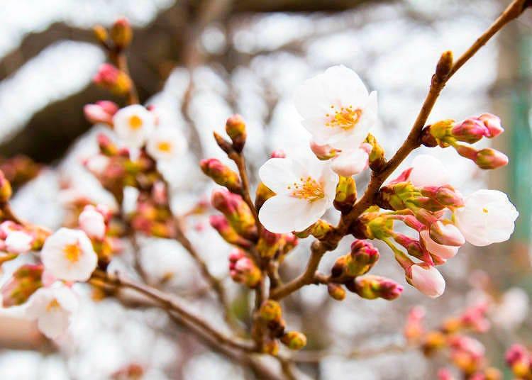 2021年 東京、大阪、京都及其他各個主要城市的櫻花開花預報