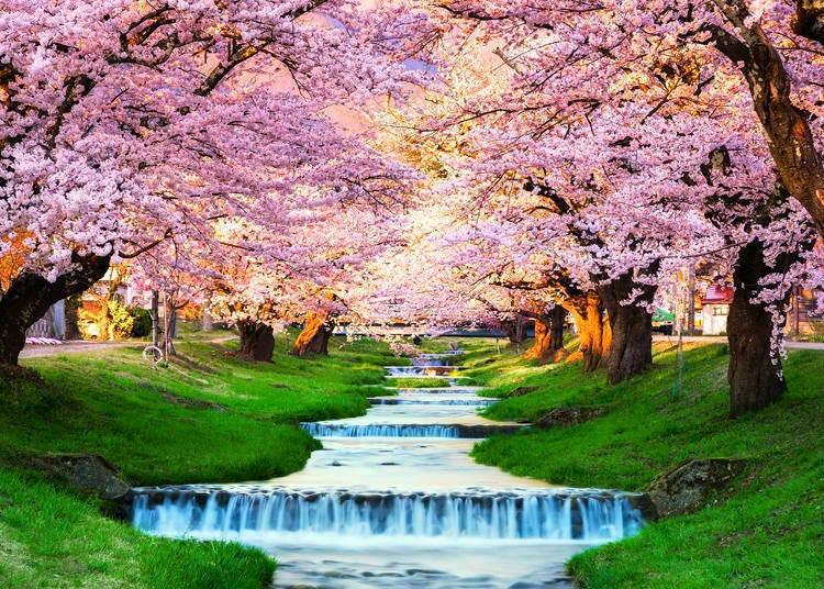 櫻花開花不等於滿開!