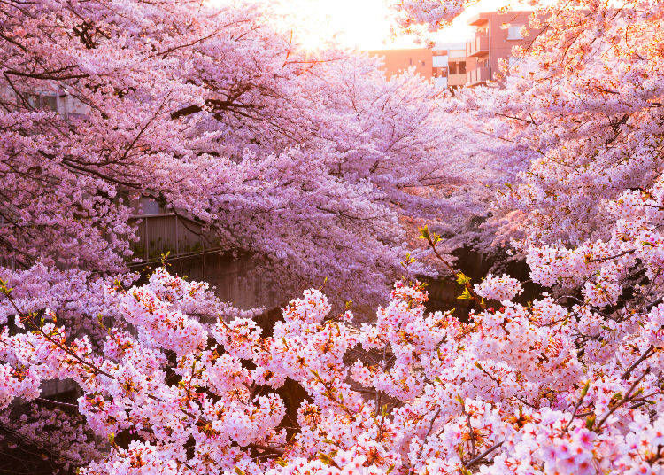 2. What is so special about cherry blossom trees?