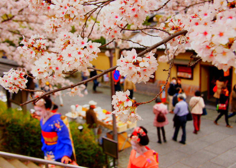 5. Are cherry blossoms good luck?