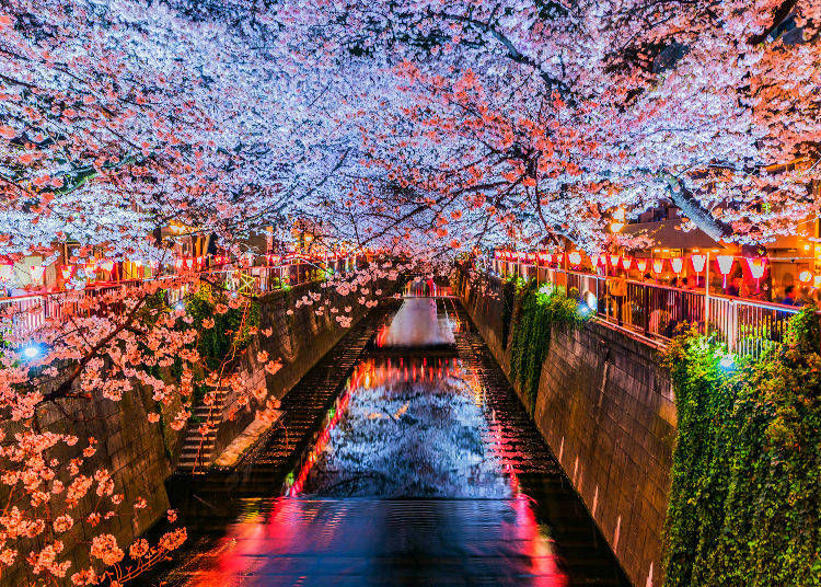 13. Any tips for seeing cherry blossoms at night in Japan?