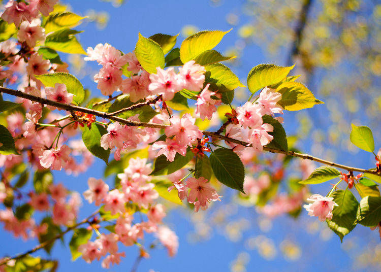 12. Can I still enjoy cherry blossoms in Japan ever after peak bloom?