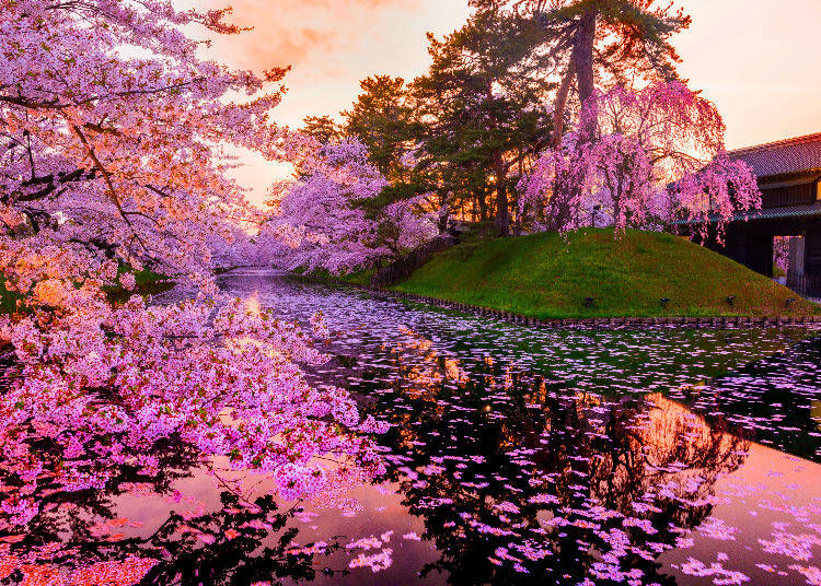 14. Where are cherry blossom trees found in Japan? What can I expect to see during cherry blossom season?