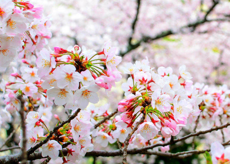 6. What is the significance of cherry blossoms in Japanese culture?